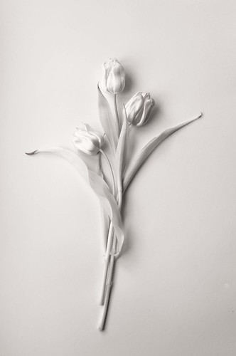 フリー写真素材, 花・植物, ユリ科, チューリップ, モノクロ写真,