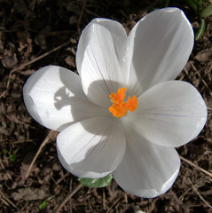 Crocus blanc (montestier) Tags: nature