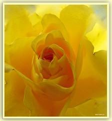 Sonnenrose - sun rose
