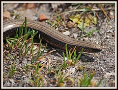 Slow Worm (flickr quickr) Tags: slowworm anguisfragilis uklizards