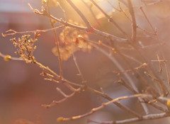 I'm still here (Shandi-lee) Tags: winter sunset red brown sunlight macro tree nature march bush warm soft branch naturallight buds