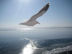 the flying ice block (mrlederhosen) Tags: ocean travel light sea sun seagulls cold hokkaido glare gulls north freezing aurora sunburst rays february 20c icebreaker abashiri 2011 okhotsk sun sea abasiri frozen sea northern ice glare japan okhotsk