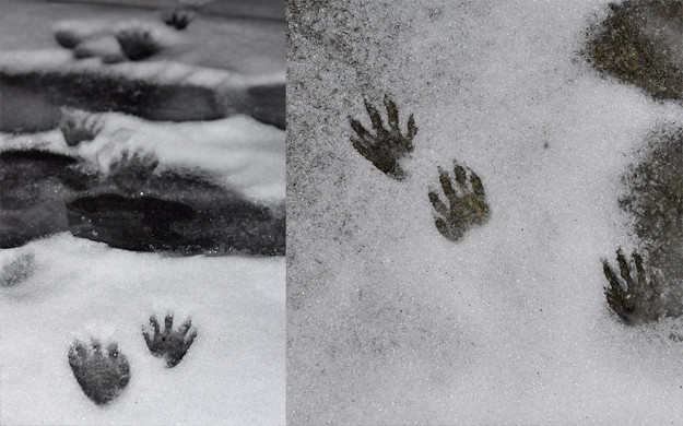 Raccoon foot prints