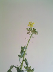 Rutabaga blossoms by martin_kalfatovic