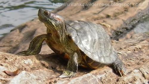 Parker's Black Turtle Parker's Black Turtle පාකර්ගේ ගල් ඉබ්බා1