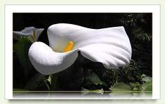 Teneriffa - visit in the Botanical garden (© the-best-is-yet-to-come ©) Tags: canarias teneriffa canaryislands cala islascanarias tenerfe liriocalazantedeschiaaethiopica arodeetiopíacartucho lirioalcatraz