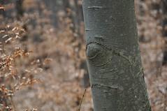 Pöögimetsa silmad (anuwintschalek) Tags: wood eye forest austria march buchenwald eyes treetrunk augen wald auge mets niederösterreich beech frühling naturpark buche beeches silm kevad buchen seebenstein 2011 18200vr türkensturz nikond90 silmad puutüvi pöök pöögimets pöögid