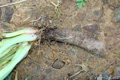 Acelga; Beterraba-sacarina // Common Beet (Beta vulgaris) - by Valter Jacinto | Portugal