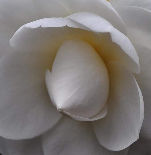 Camellia japonica 'Nuccio's Gem' (4)