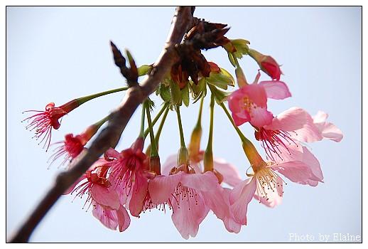 堤防櫻花1
