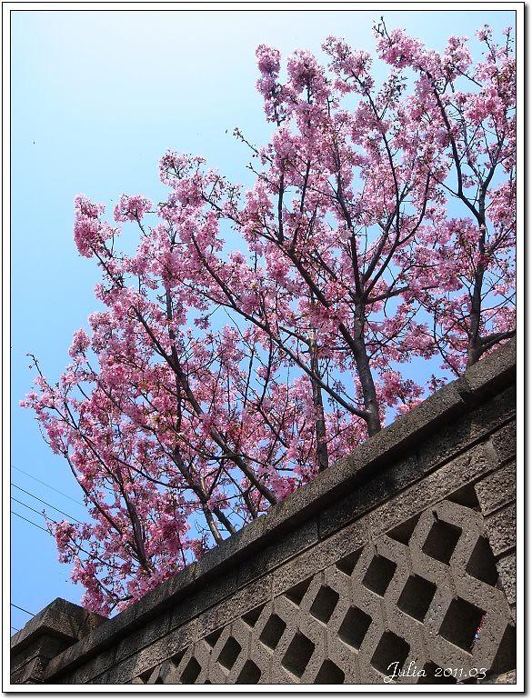 櫻花 (2)