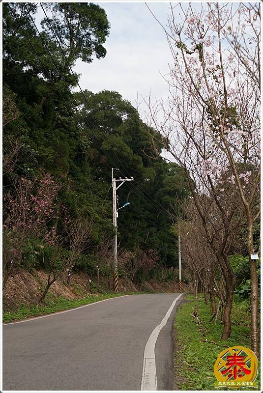 2011-03-06 滬尾櫻花步道a