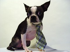 "Mar 17 2011 [Day 136] ""Happy Saint Patrick's Day Sam"" (James_Seattle) Tags: green boston bostonterrier march sam tie cybershot 365 k9 year1 saintpatricksday dscf717 2011 sonycybershotdscf717 jamesseattle"