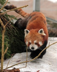 Red Panda (Ailurus fulgens) (macca_1985) Tags: zoo sweden sverige chrismclean nordensark canon70300f456 nordens canoneos550d
