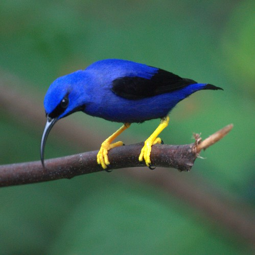 Purple Honeycreeper (male)