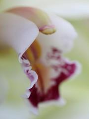 Orchid Detail (donsutherland1) Tags: detail closeup flower blossom bloom fleur blumen blomter bloemen fiori flores orchid orchids newyorkbotanicalgarden nybg bronx newyork ny nature orchidshow theorchidshowonbroadway 2011 2011orchidshow flowersarebeautiful awesomeblossoms flickraward macro esenciadelanaturaleza soe mygearandme fleursetpaysages flickrflorescloseupmacros flickrsportal