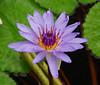Hawaiian Lily 4 (Roni Bear) Tags: flower digital hawaii nikon lily nikond80 nikon18135mmf3556g hawaiianlily ronibear