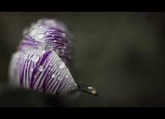 ..... (-thor0410-) Tags: flower macro water grass closeup leaf wasser blossom drop gras blume makro tropfen blute blatter canon100mm128 canon5dmarkii