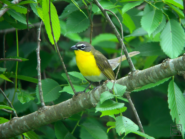 Yellow-breasted Chat, May 2011