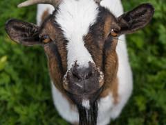 Nanny goat (bertrandwaridel) Tags: 2016 july nannygoat summer switzerland vaud goat corcelleslejorat suisse
