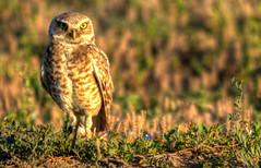 Burrowing Owl, Badlands National Park (ap0013) Tags: burrowing owl burrowingowl badlandsnationalpark southdakota bird birding nature wildlife nationalpark