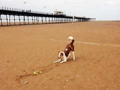 Bailey Southport (deltrems) Tags: southport sefton merseyside bailey pet dog welsh border collie pier sand beach
