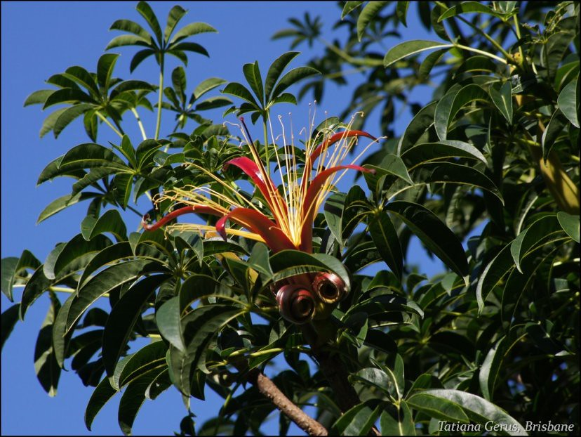 Flower of the Baobab