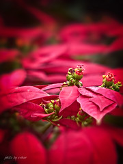 red flower #3 [explored] (e.nhan) Tags: flowers light red flower art nature leaves closeup leaf colorful colours dof bokeh arts enhan