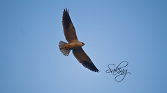 Black-shoulder Kite (Saking--Little Busy) Tags: kingdom stealth saqib saking concordians somethingveryspecial kingloi stunningwisdom