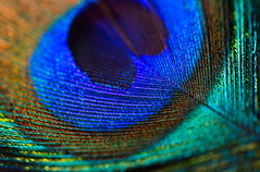 A feather (Rajiv Lather) Tags: camera blue india macro nature birds canon image wildlife indian feather peacock aves photograph iridescence nationalbird peahen newdelhi pheasants pavocristatus phasianidae gamebirds bluepeafowl galliforms