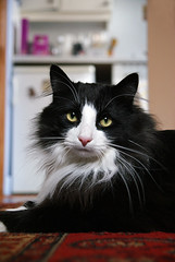 Look, if you need more modelling time, please contact my agent... (hehaden) Tags: blackandwhite animal cat kitty sittingroom livingroom tuxedo tux longhaired