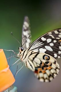 Papiliorama