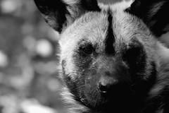 African Wild Dog b/w (chrigischuler) Tags: wild portrait bw dog white black blackwhite wolf head african painted hunting hund cape sw spotted ornate schwarzweiss weiss schwarz africanwilddog kopf africanhuntingdog afrikanischer capehuntingdog wildhund paintedwolf