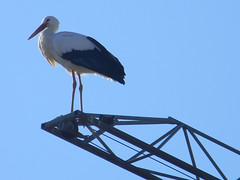 DSCN0115 the builder stork - de bouwersooievaar - la cicogna muratore - le cicogne murador (pinktigger) Tags: bird nature birds stork storks friuli fagagna friul cicogna oasideiquadris feagne