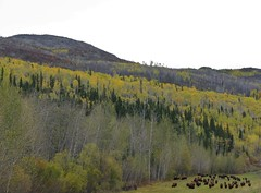 Grazing Bison (Travis S.) Tags: trees red mountain canada green yellow britishcolumbia bison northeast herd spruce grazing alder bisonbison