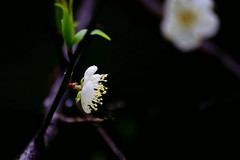 -  - Plum Blossoms - National Tsing Hua University - Dr. Mei Memorial Garden (prince470701) Tags: taiwan   sigma70300mm nationaltsinghuauniversity sonya850 drmeimemorialgarden