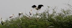 Space for everyone! (Joe Athialy) Tags: birds canon birdsanctuary bharatpur migratorybirds 450d