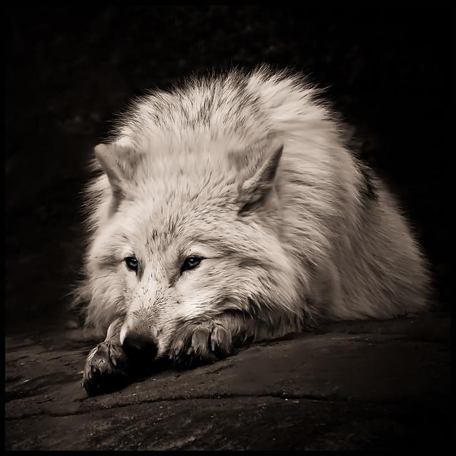 Black & Wolf