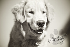 Smile like you mean it! (Golden Moments Petography) Tags: boy dog male smile tongue sepia goldenretriever puppy logo fur outside nose canine pup niko iphotooriginal canon60d