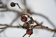 what seems nasty, painful, evil, can become a source of beauty, joy, and strength, if faced with an open mind (rosemary-demirkok) Tags: life winter snow nature beauty golden pain berry nikon berries joy strength openmind d90