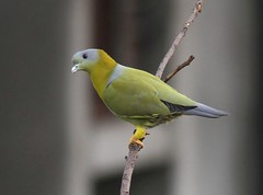 Delhi Rooftop: Yellow-footed Green-pigeon (spiderhunters) Tags: india bird delhi yellowfootedgreenpigeon treronphoenicoptera saaksharaapartments pashimvihar