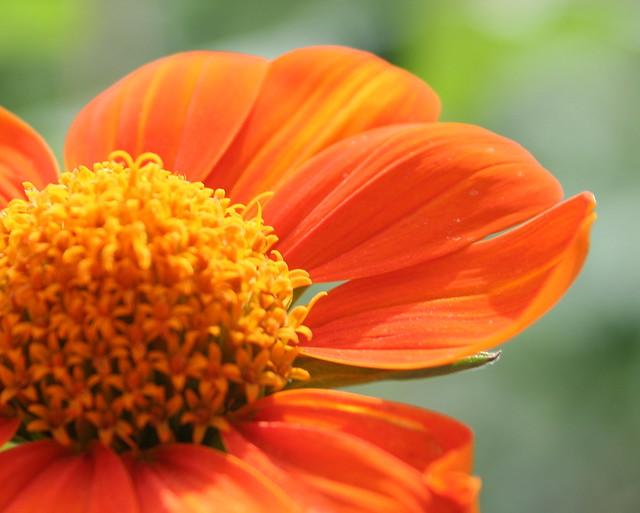 orange flower - closeup by VC3 Employee Photos