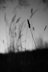 Alone in the crowd (vindpuss) Tags: blackandwhite bw nature grass dark sweden straw noise dalarna silhouett ster