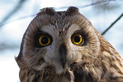 Buho campestre - Short-eared owl - Asio flammeus (_kamon_) Tags: wild bird nature ave birdwatching shortearedowl asioflammeus canonef40056l lechuzacampestre