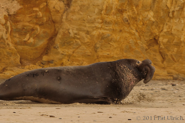 Dominant elephant seal at high speed - Pat Ulrich Wildlife Photography