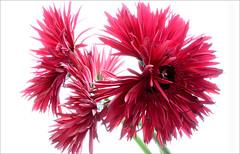 Purple / red Gerber Daisy / Daisies on White - IMG_0160-buzz (Bahman Farzad) Tags: white macro daisies high key o daisy highkey onwhite gerber hikey