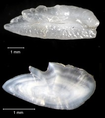 Inshore Lizardfish Otolith (FWC Research) Tags: fish florida research otolith