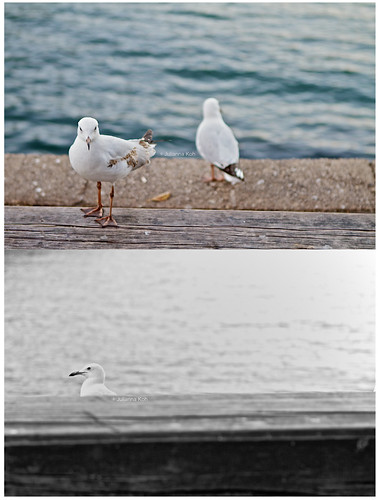 twoguineapigs pet photography seagulls woolloomooloo bay