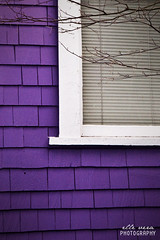 "feb. 10 - ""Oh look, a purple house"" (ellevera) Tags: white house window purple branches mysterious 365 twigs windowframe catchycolorspurple sidingshingles"