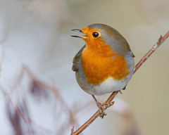 """Better to burn out than to fade away"" (Andrew Haynes Wildlife Images) Tags: bird nature robin wildlife coventry warwickshire brandonmarsh canon7d ajh2008"